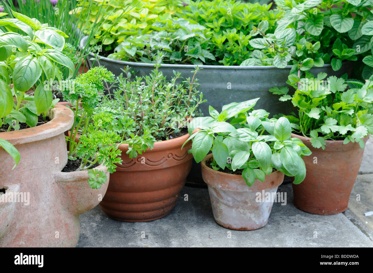 pot grown herbs including mint chives basil parsley and thyme stock photo 25506246 alamy. Black Bedroom Furniture Sets. Home Design Ideas