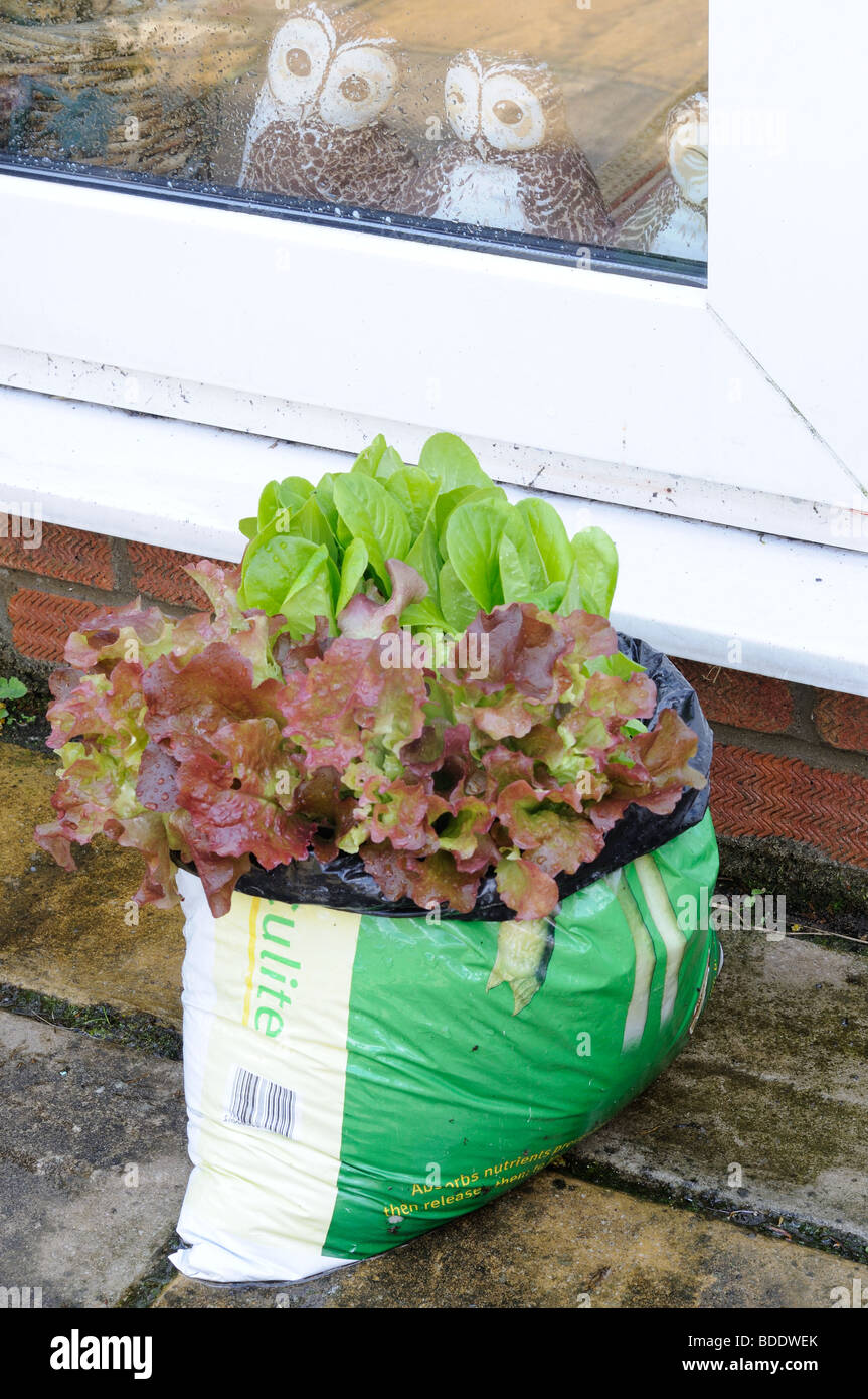 salad leaves growing in compost bag on the garden patio - Stock Image