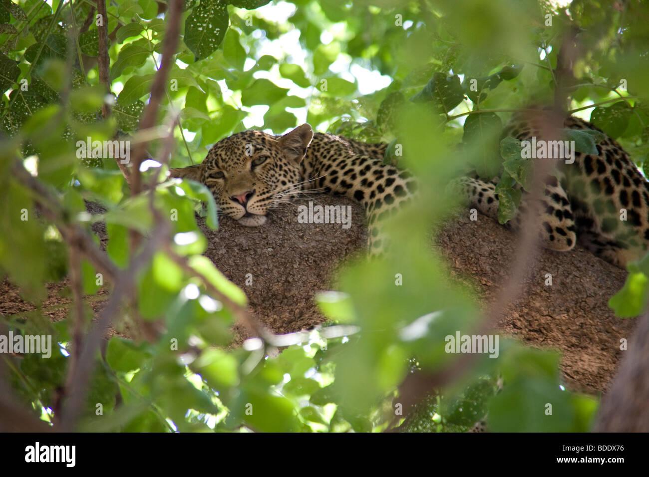 Zambia, Tafika Camp, Luangwa River, South Luangwa National Park. Jeep Safari ,Bush Leopard Panthera pardus - Stock Image