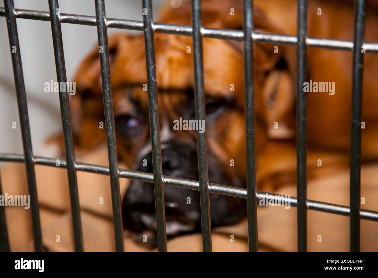 Boxer Dog Recovering from Anaesthetic in Veterinary Clinic - Stock Image