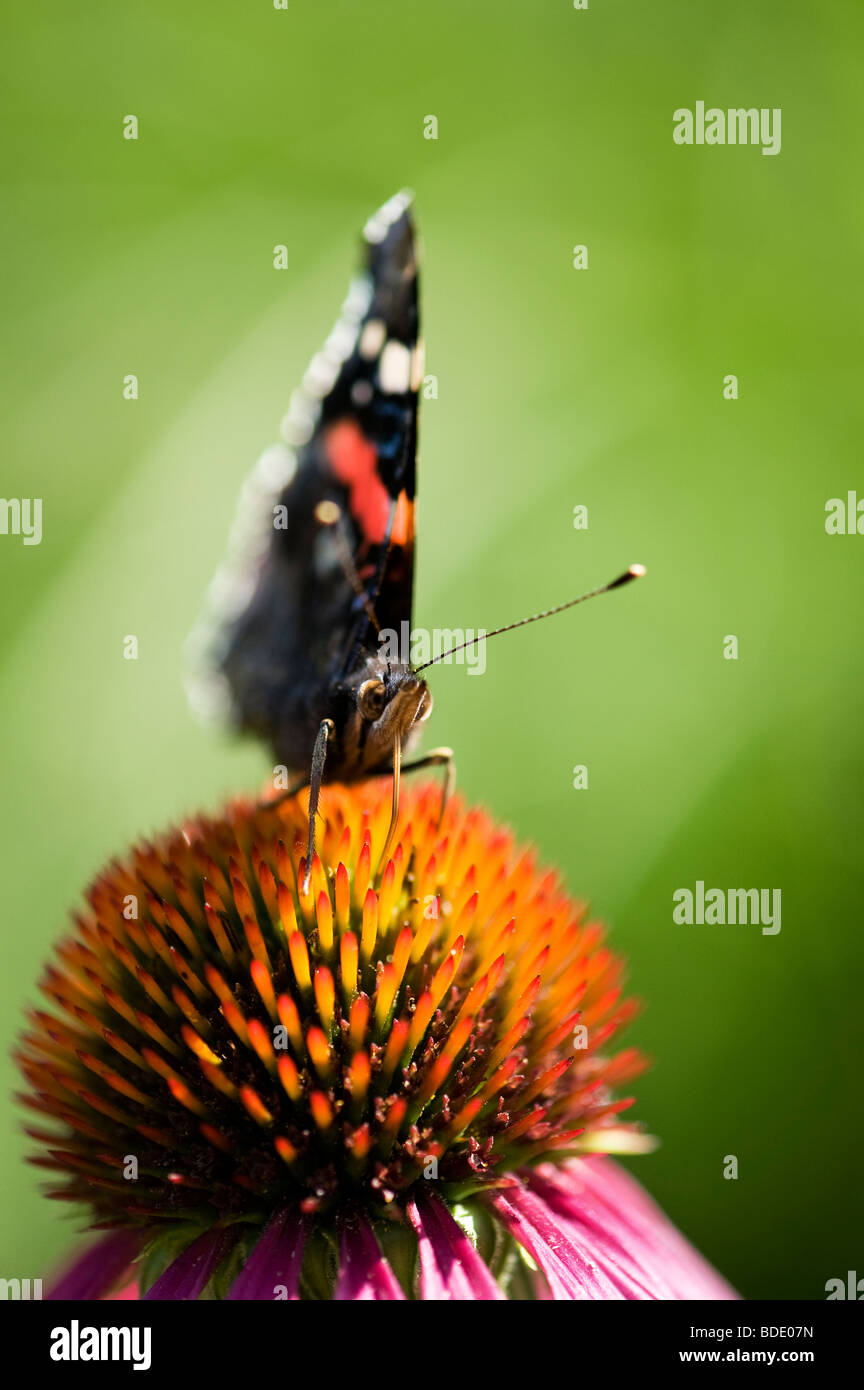 Vanessa atalanta. Red admiral butterfly feeding on an Echinacea purpurea coneflower - Stock Image