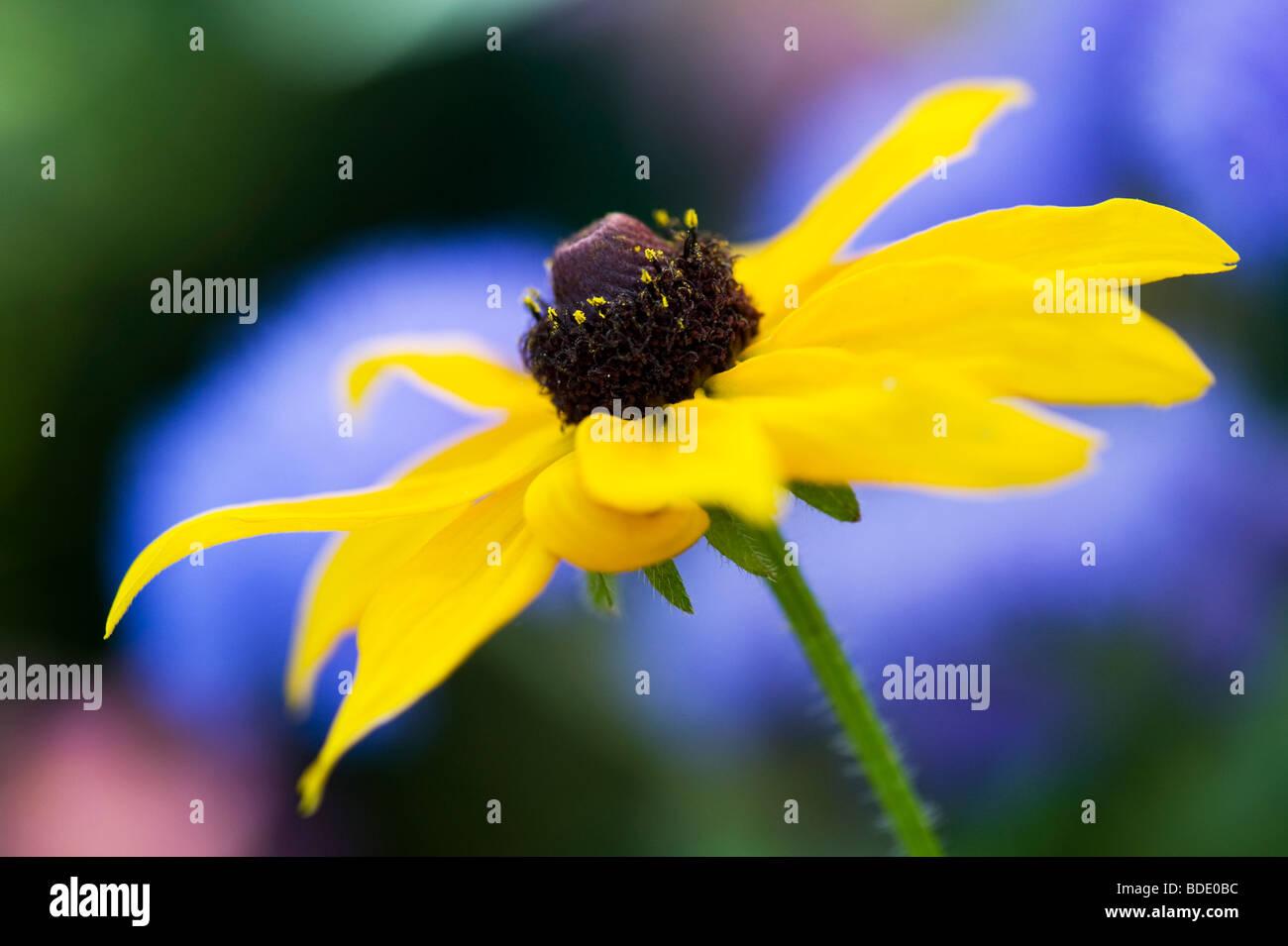 Rudbeckia fulgida Goldsturm flower against blue background in a garden - Stock Image