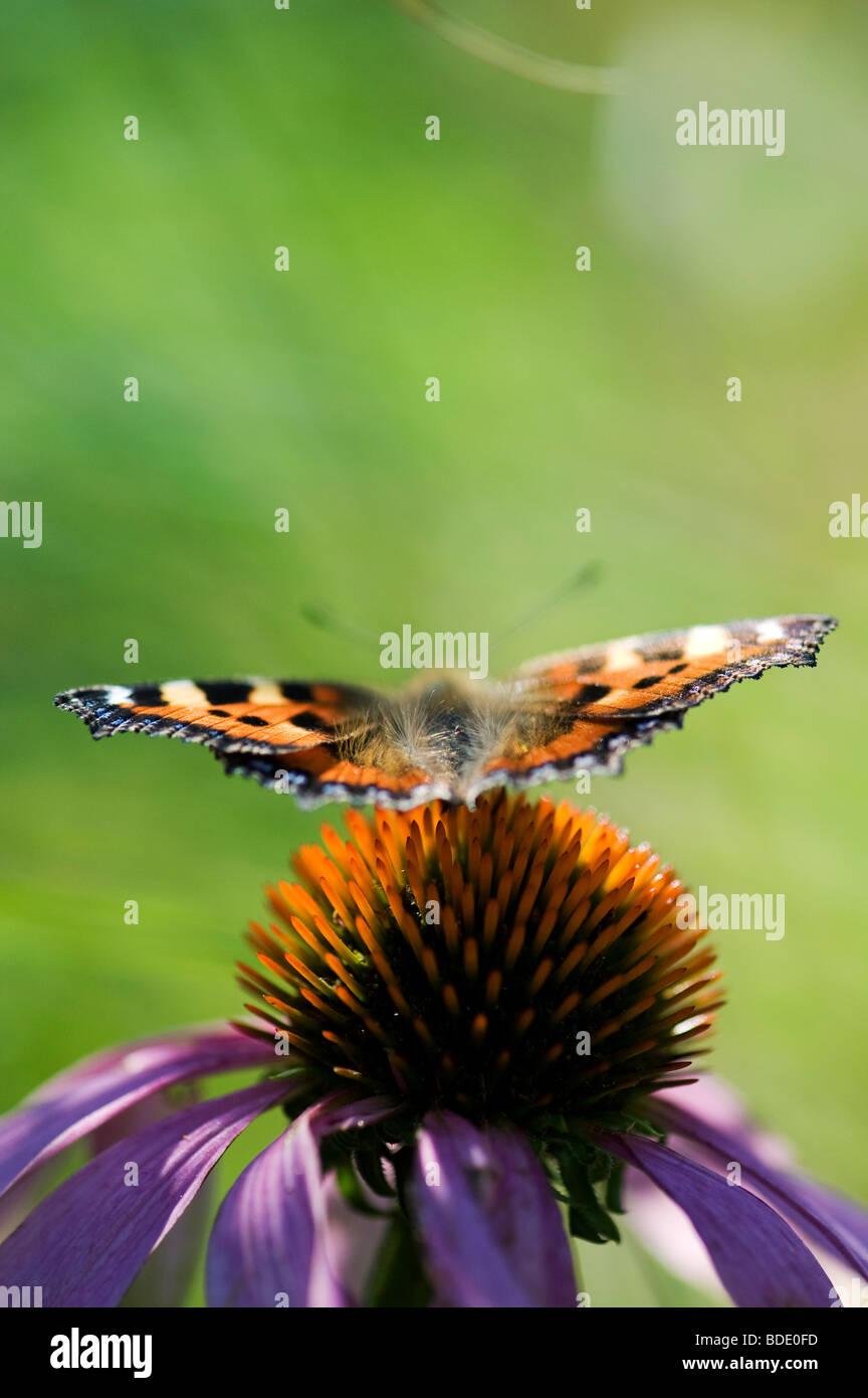 Small tortoiseshell butterfly on an Echinacea purpurea flower - Stock Image