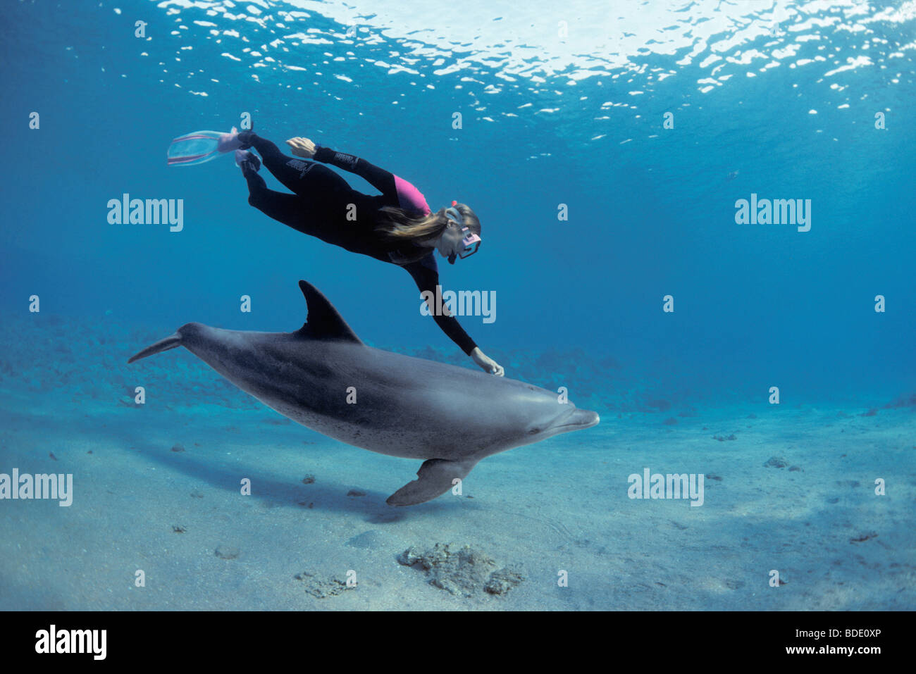 Snorkeler swimming with Bottlenose Dolphin (Tursiops truncatus), Nuweiba, Egypt - Red Sea. - Stock Image