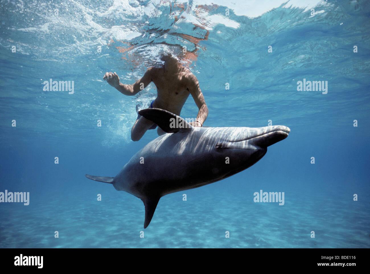 Snorkeler interacting with wild Bottlenose Dolphin (Tursiops truncatus) Nuweiba, Egypt - Red Sea. - Stock Image