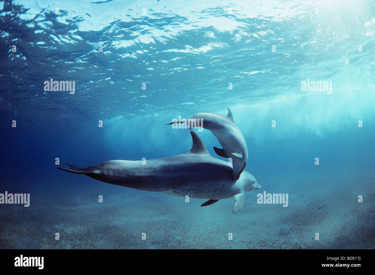 Wild Bottlenose Dolphins (Tursiops truncatus): mother and calf swimming, Nuweiba, Egypt - Red Sea. - Stock Image