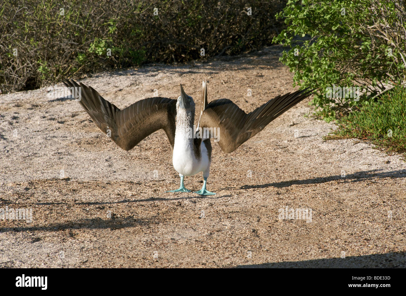 Blue footed Booby birds at breeding grounds in May on Espanola, Galapagos Islands, Pacific Ocean. - Stock Image