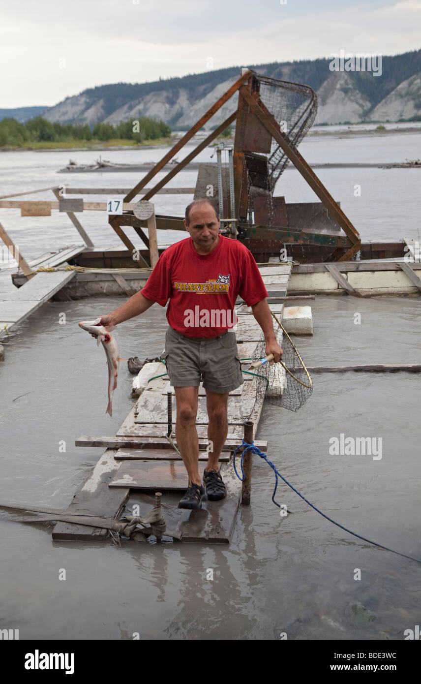 Man with Salmon Caught on Fish Wheel in Alaska - Stock Image