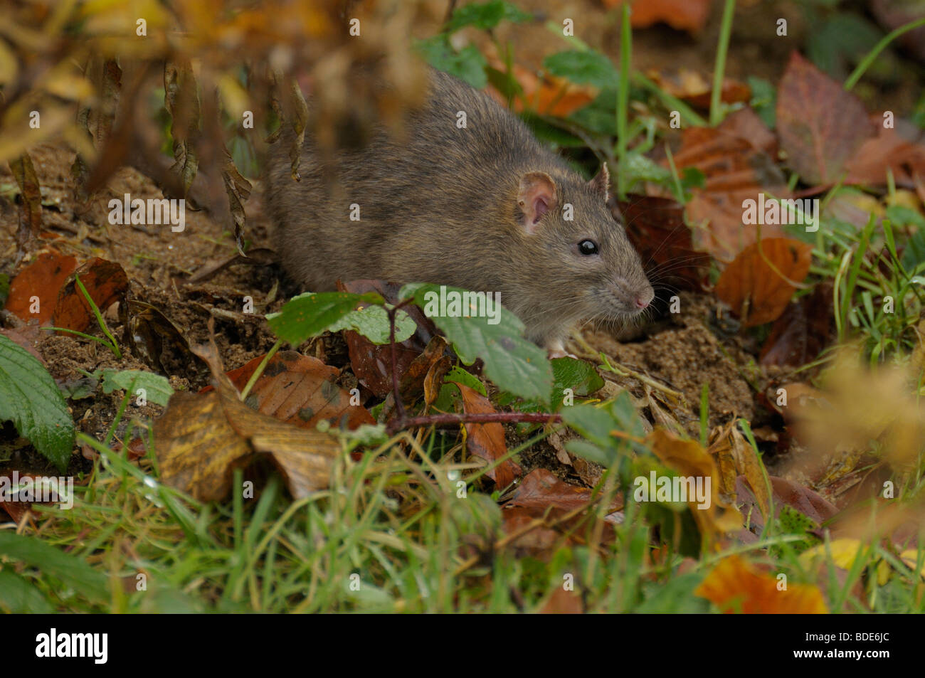 Brown Rat in undergrowth Stock Photo