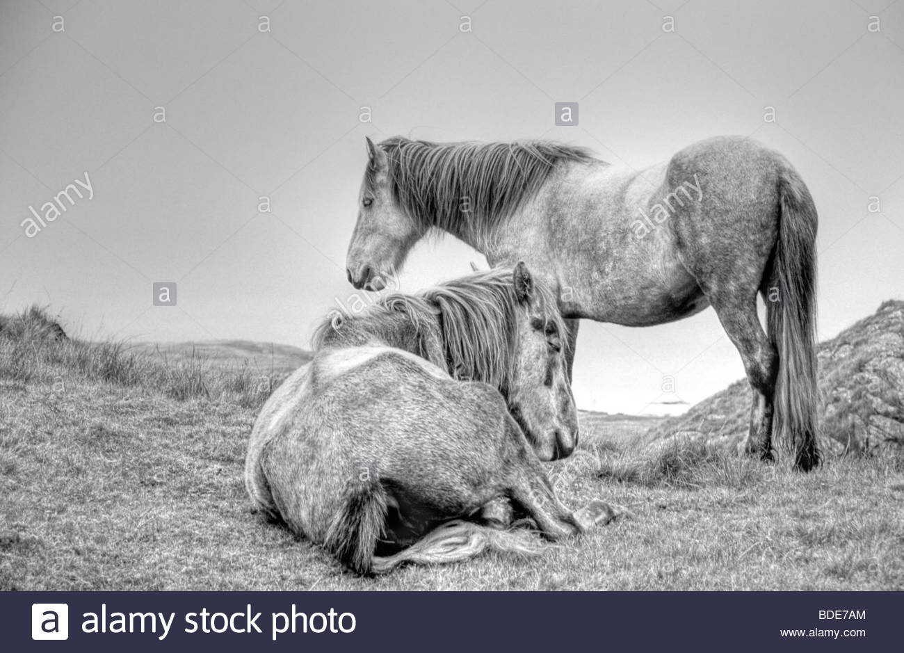 HDR image of a wild living Eriskay Pony, Isle of Eriskay, Scotland - Stock Image