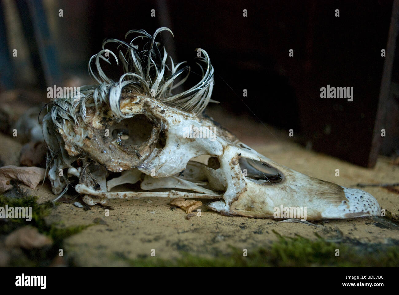 The skull of a male Muscovy duck with the feathered crest, France. Stock Photo