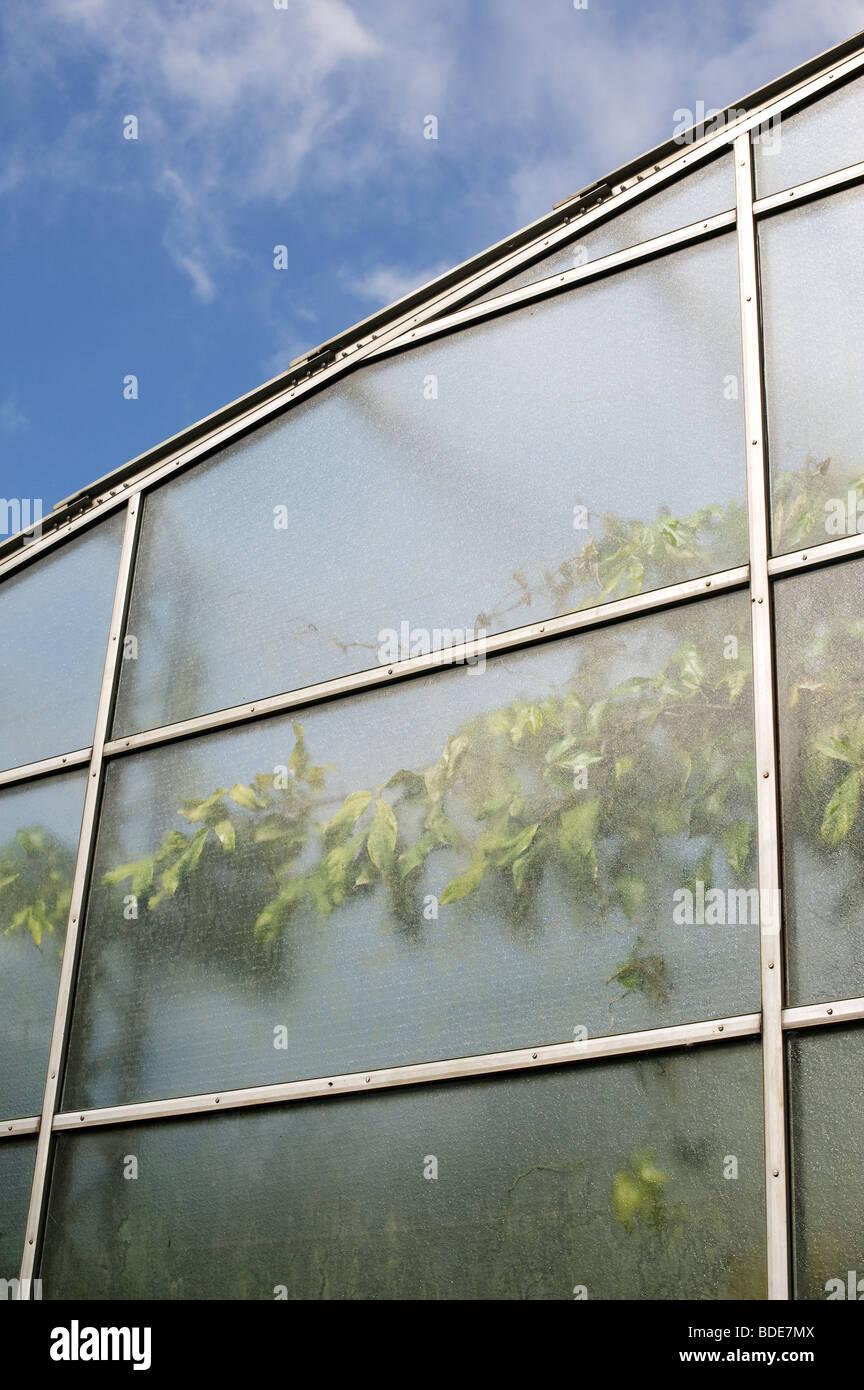 Oxford botanical garden glasshouse exterior. The Lily House showing a Strongylodon Macrobotrys, Jade Climber vine - Stock Image