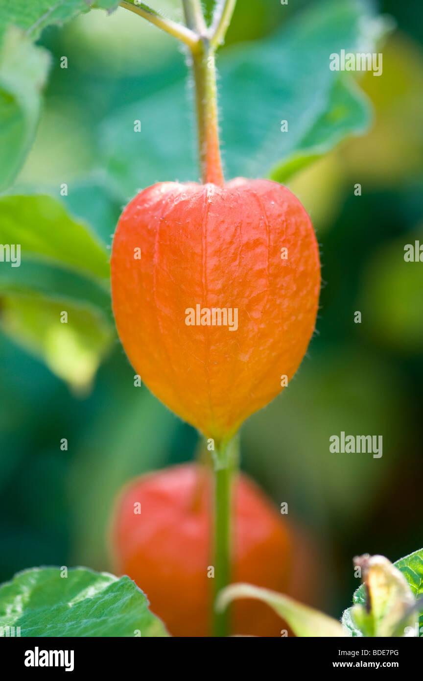 Physalis alkekengi, Chinese lantern plant - Stock Image