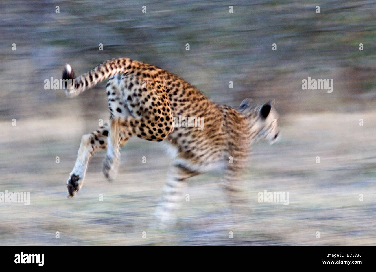 Adult female Cheetah running, Kruger National Park, South Africa. Stock Photo