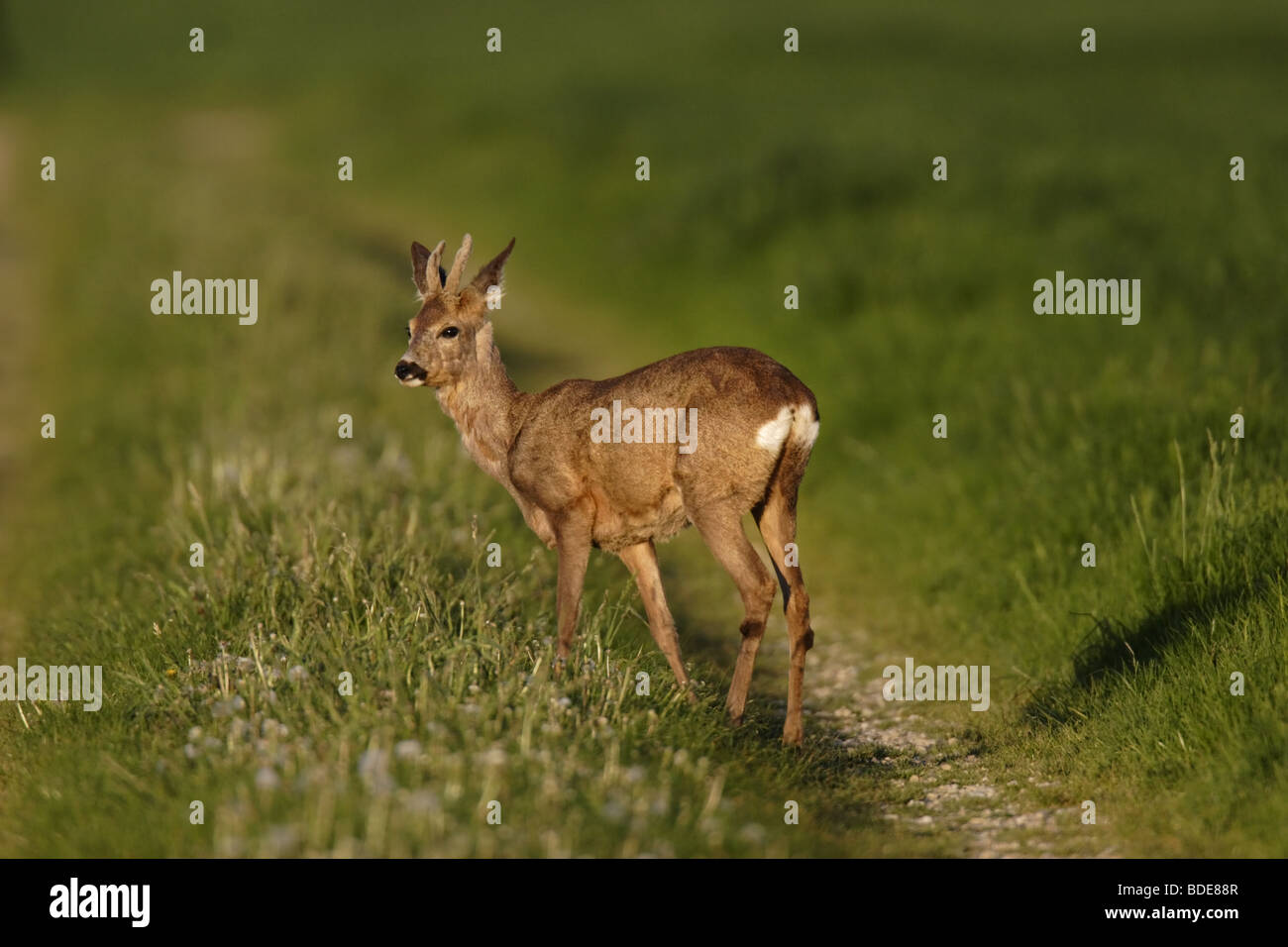 Europäisches Reh (Capreolus capreolus) roe deer Stock Photo