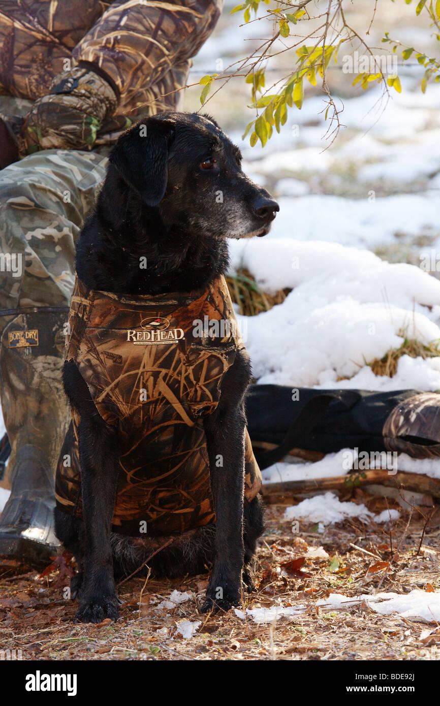 771130f21db8b BLACK LABRADOR RETRIEVER DOG WEARING REDHEAD CAMO VEST SITTING ON GROUND  SNOW AND DUCK HUNTER IN BACKGROUND