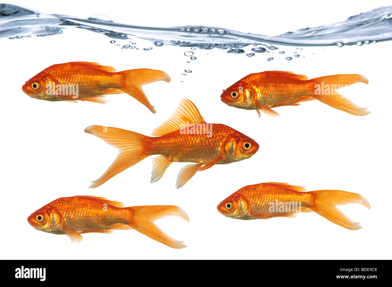 Gold fish swimming in one directions while one swims in the opposite direction - Stock Image