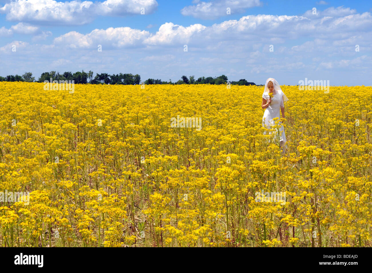 Bride in a field of yellow flowers during sunny day - Stock Image