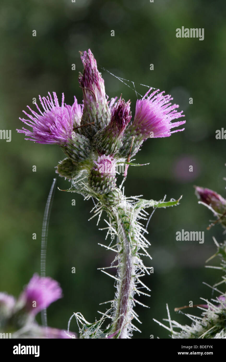 garden weed, Thistle - Stock Image