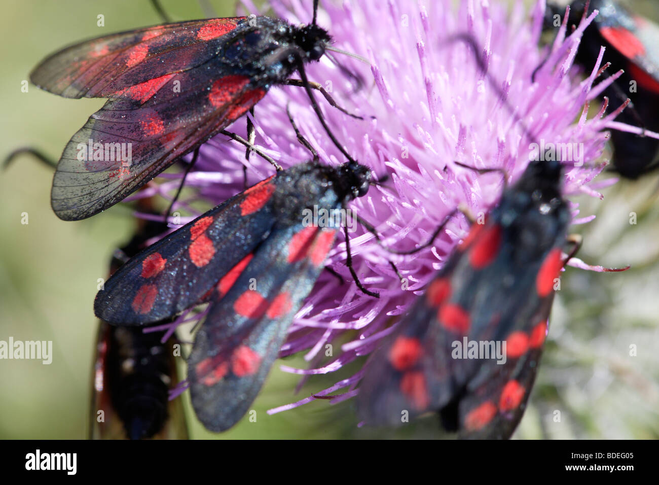 Brightly coloured insects on a thistle flower - Stock Image