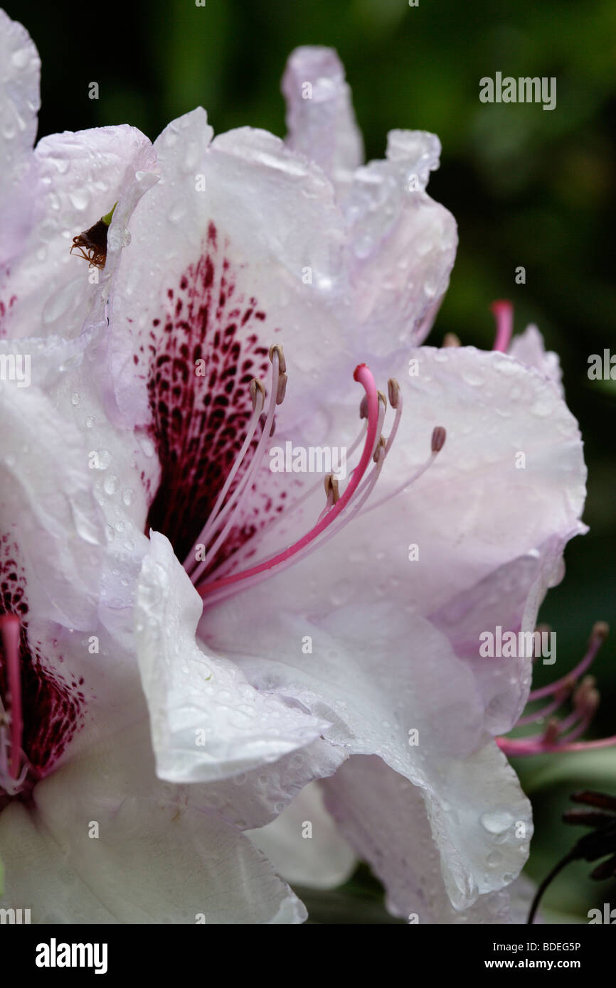 wet Rhododendron flower - Stock Image