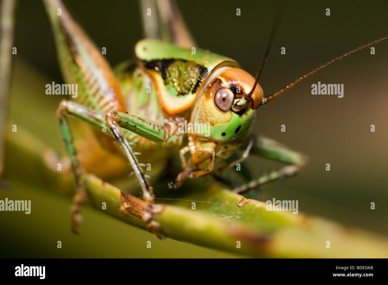 Roesel's Bush-Cricket - Stock Image