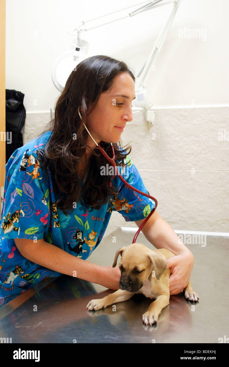 Female vet examines a puppy in her clinic - Stock Image