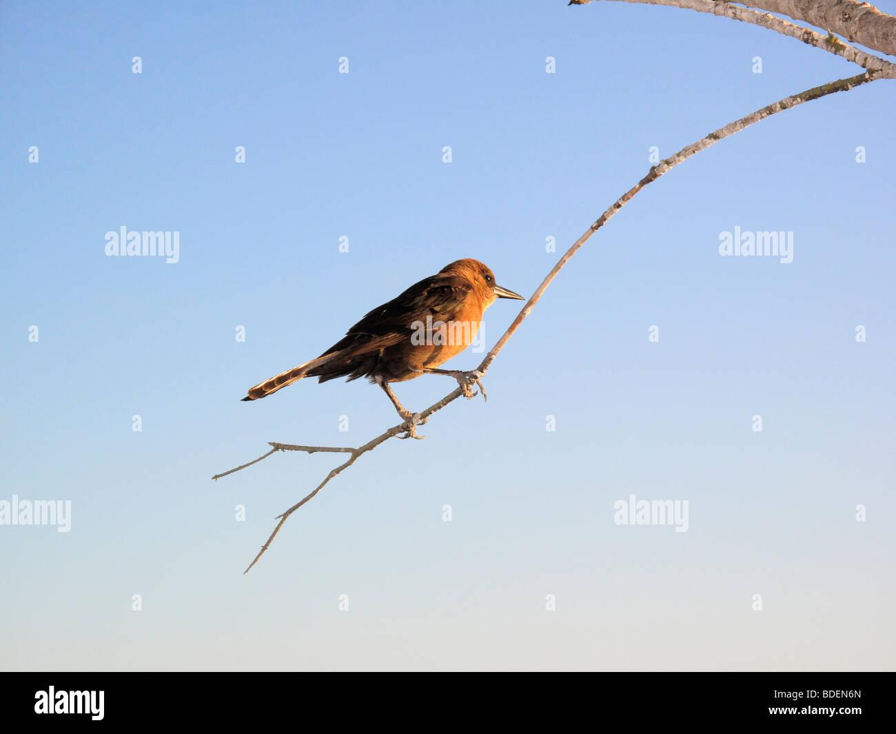 a Brewer's Blackbird bird on a branch in Florida, USA - Stock Image