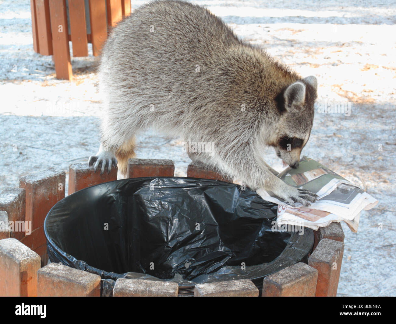 a raccoon digging in a garbage can - Stock Image