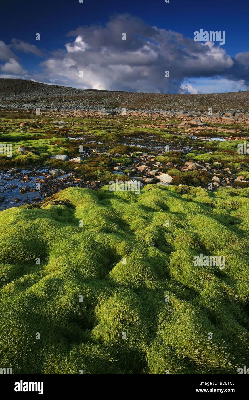 Green moss carpet near Snøheim in Dovrefjell national park, Norway. - Stock Image
