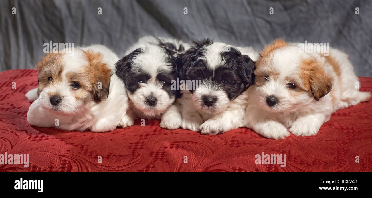 The Coton de Tuléar is a small breed of dog. - Stock Image