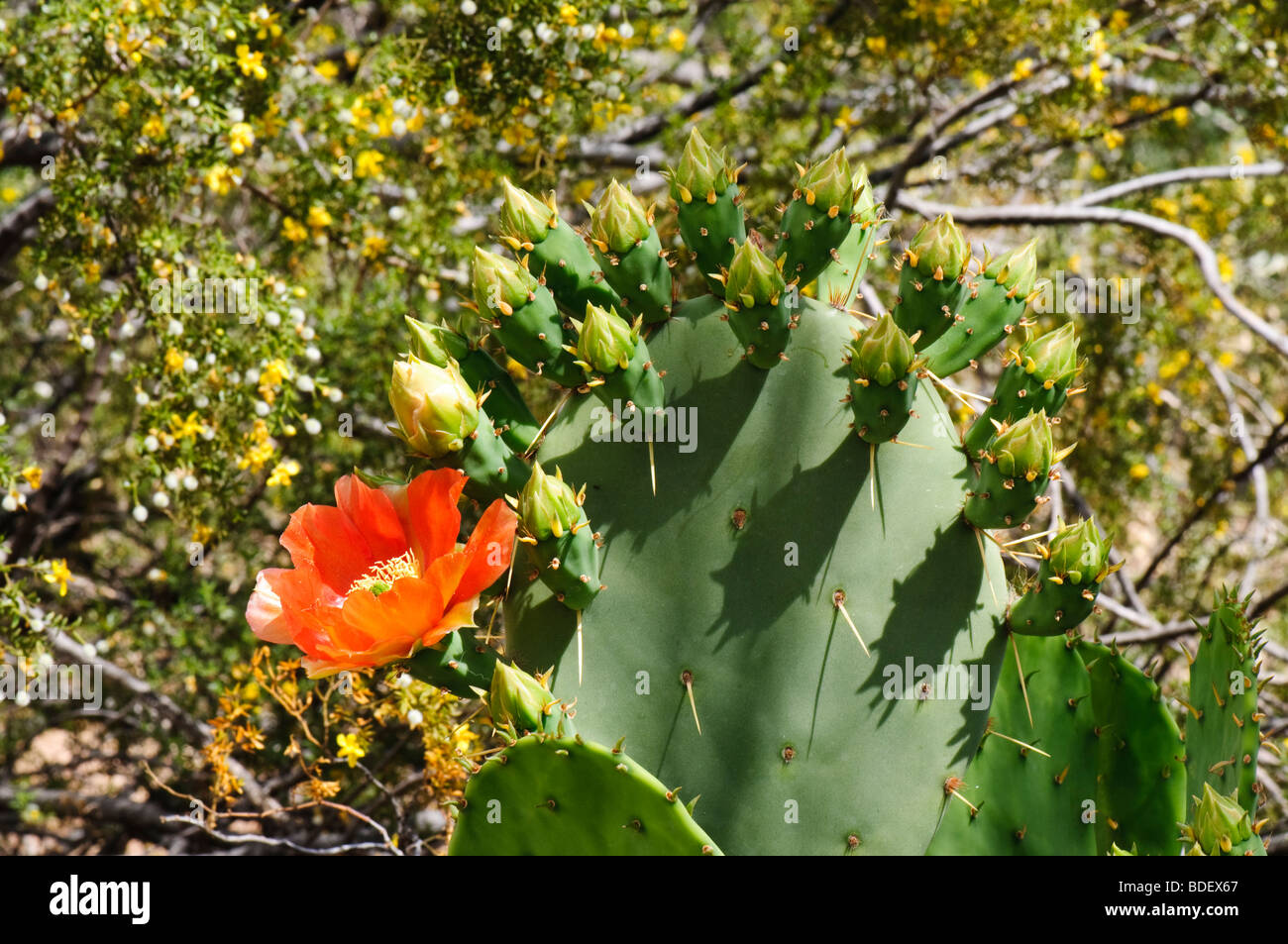 Prickly Pear Cactus In Bloom With Creosote Bush In