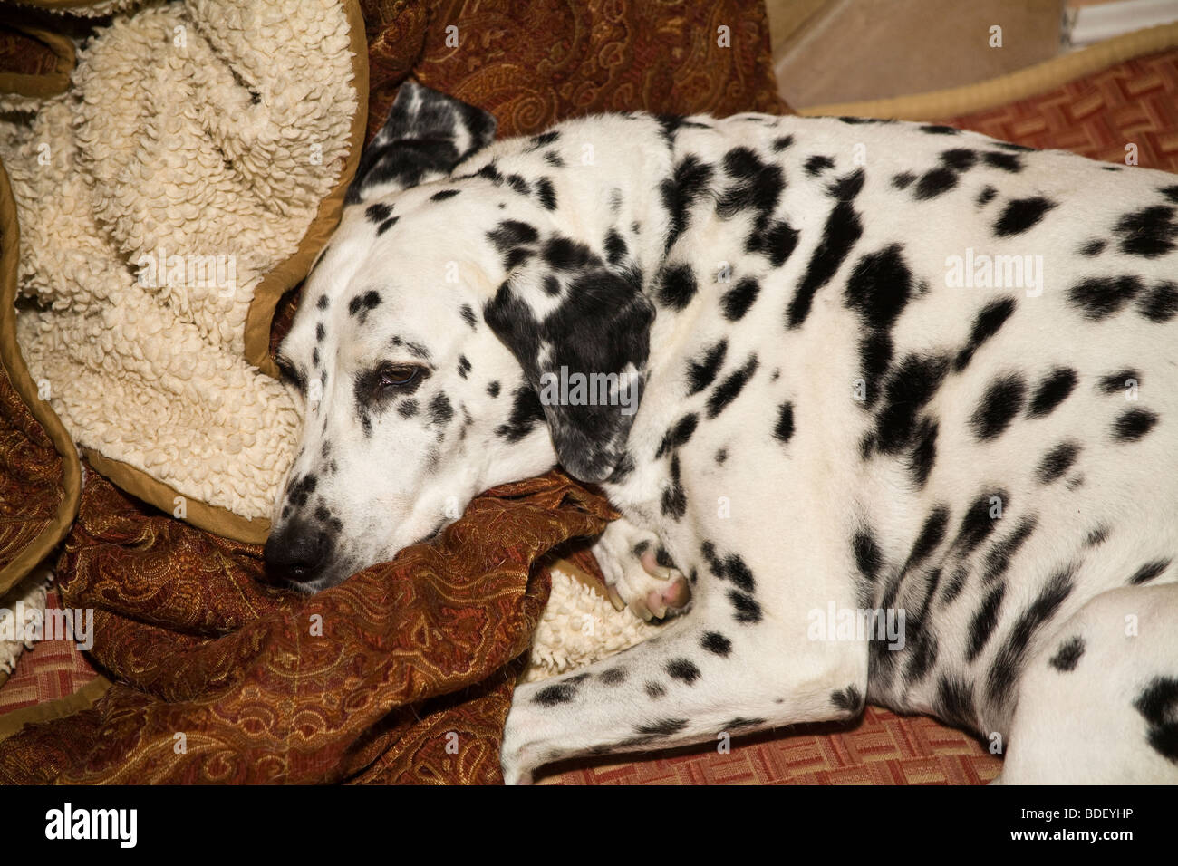 Dalmatian dog asleep  napping on cushion in home.  top view above MR - Stock Image