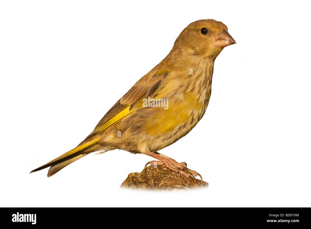 a young greenfinch isolated against a white background - Stock Image