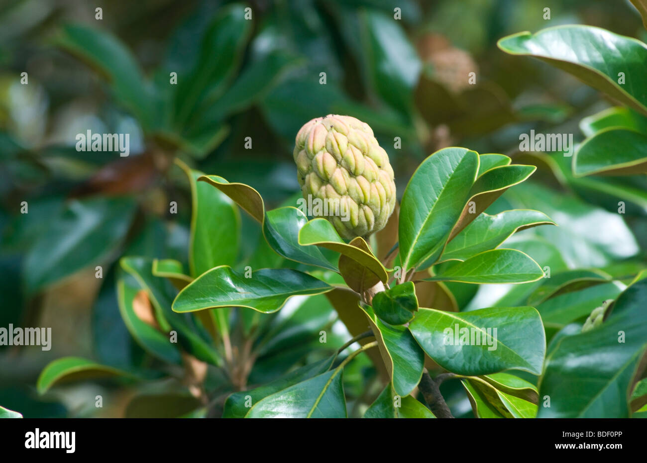 Magnolia Tree Pod Stock Photo 25530814 Alamy