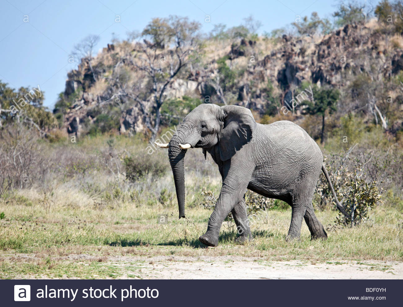 Male African Elephant walking in front of a kopje in the Savute/Savuti area of Chobe National Park in northern Botswana - Stock Image