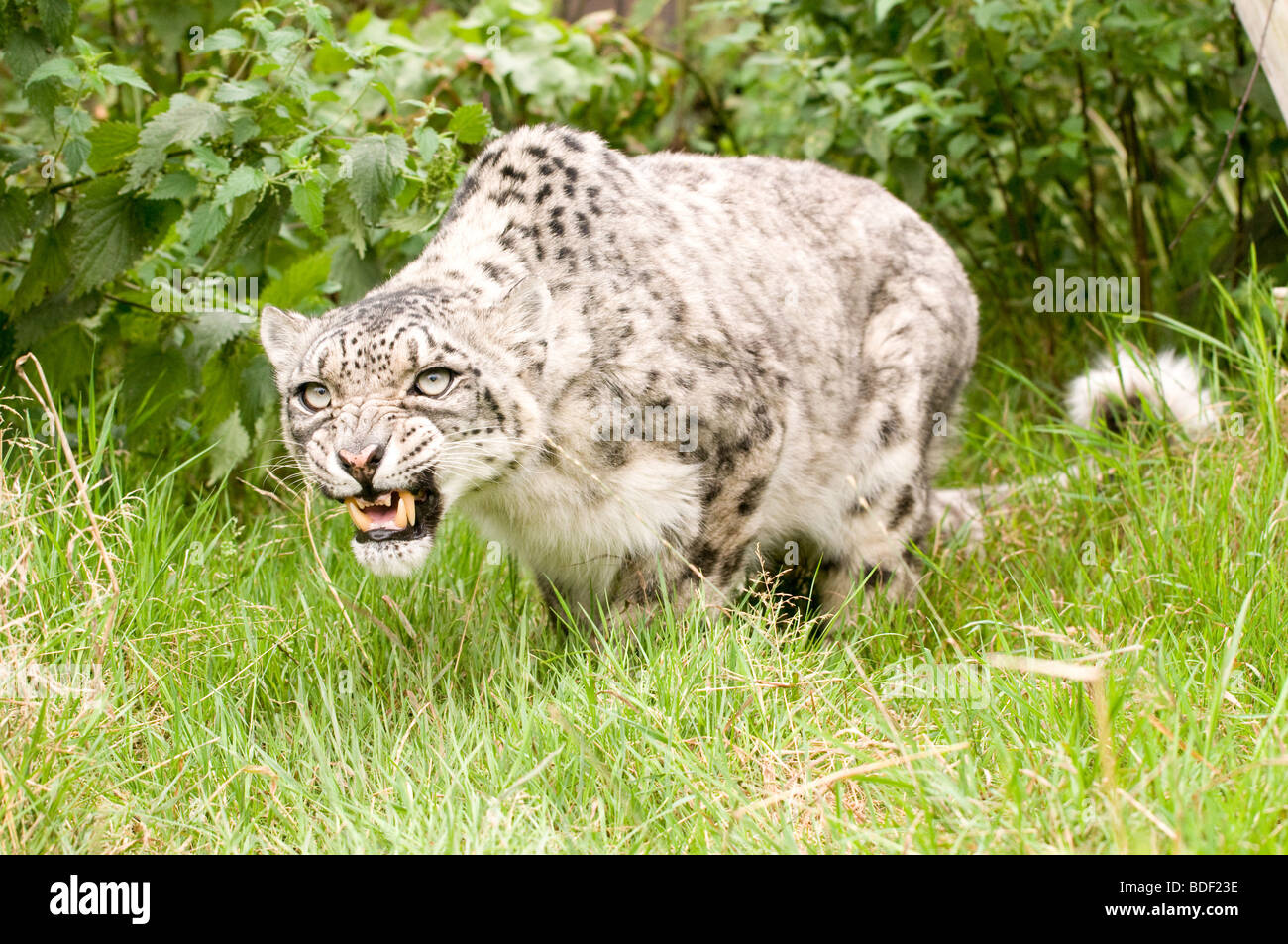 Snow Leopard in captivity at the Santago rare leopard breeding centre in England. - Stock Image