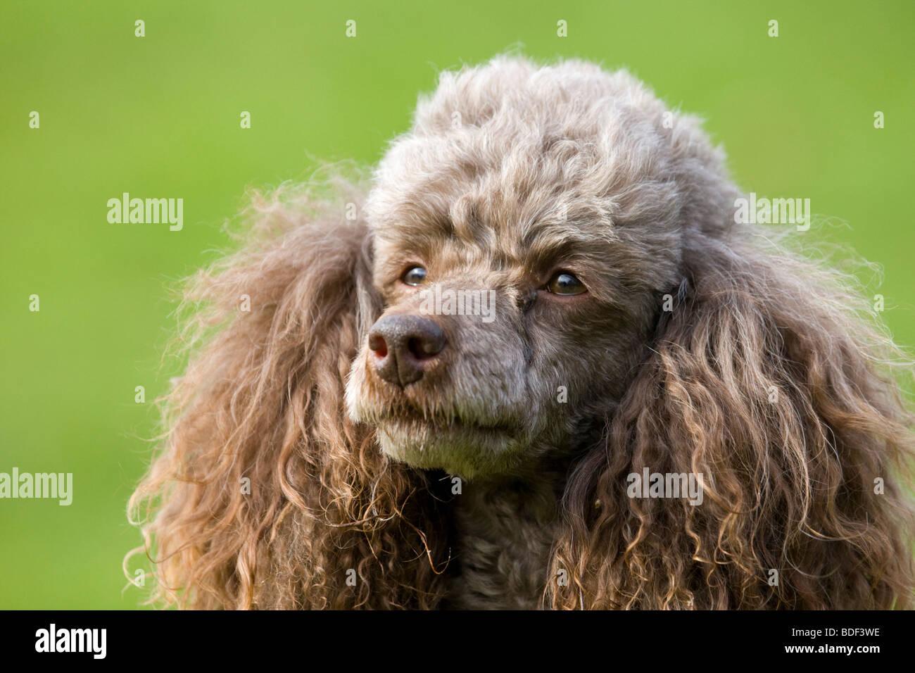 A poodle dog portrait. - Stock Image