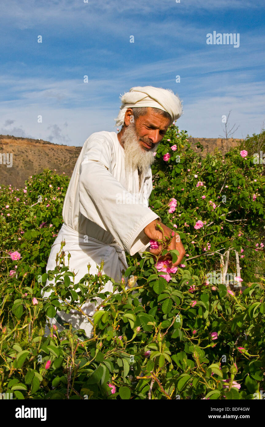 Villager picking roses to make Rose Water in Al-Jabal Al-akdar region Sultanate of Oman - Stock Image