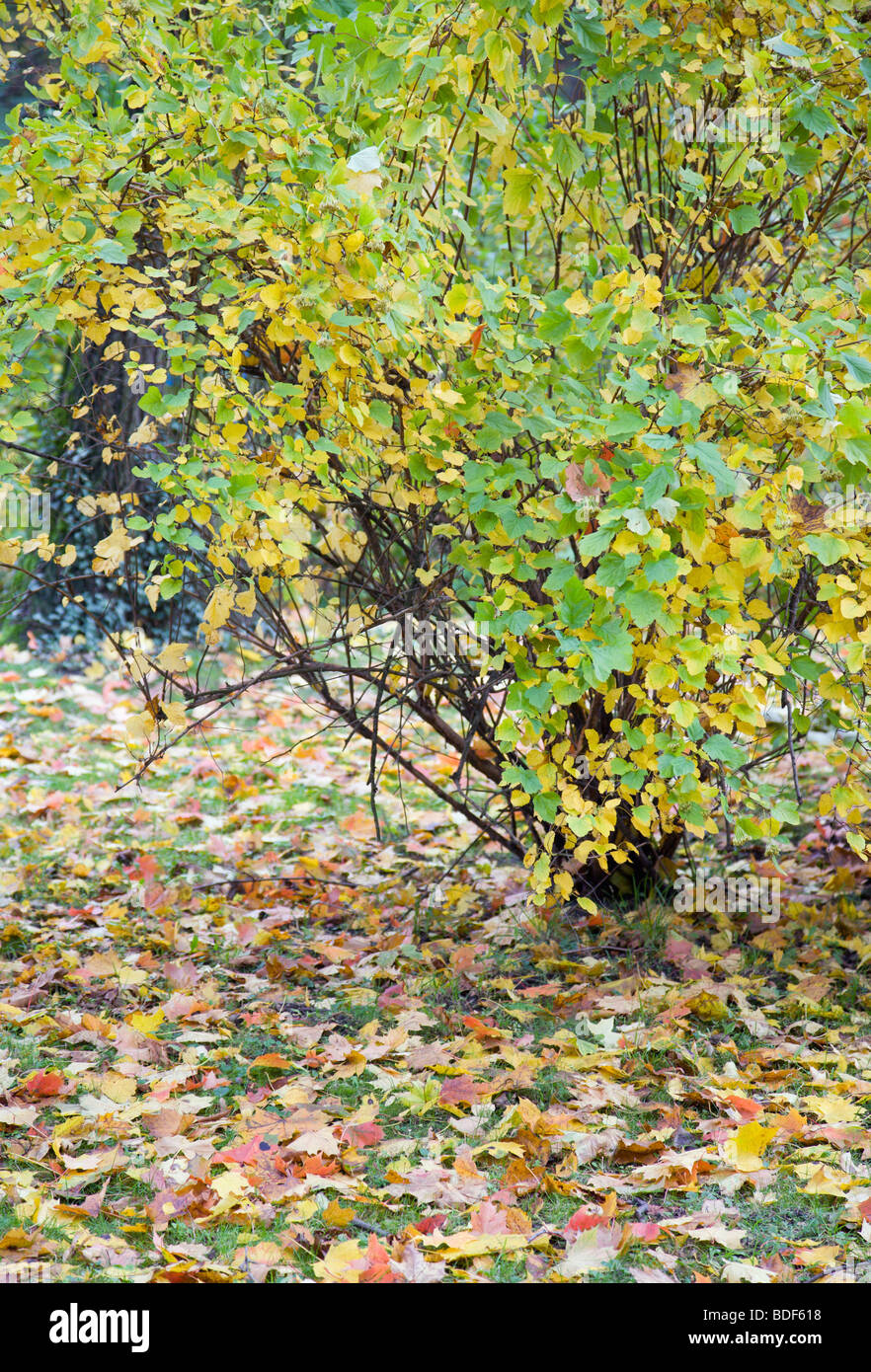 autumn green grass with abscised leafs and varicoloured bush - Stock Image