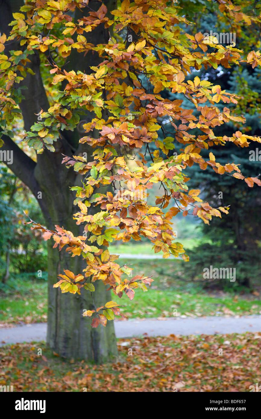 Last golden tree foliage in autumn city park - Stock Image