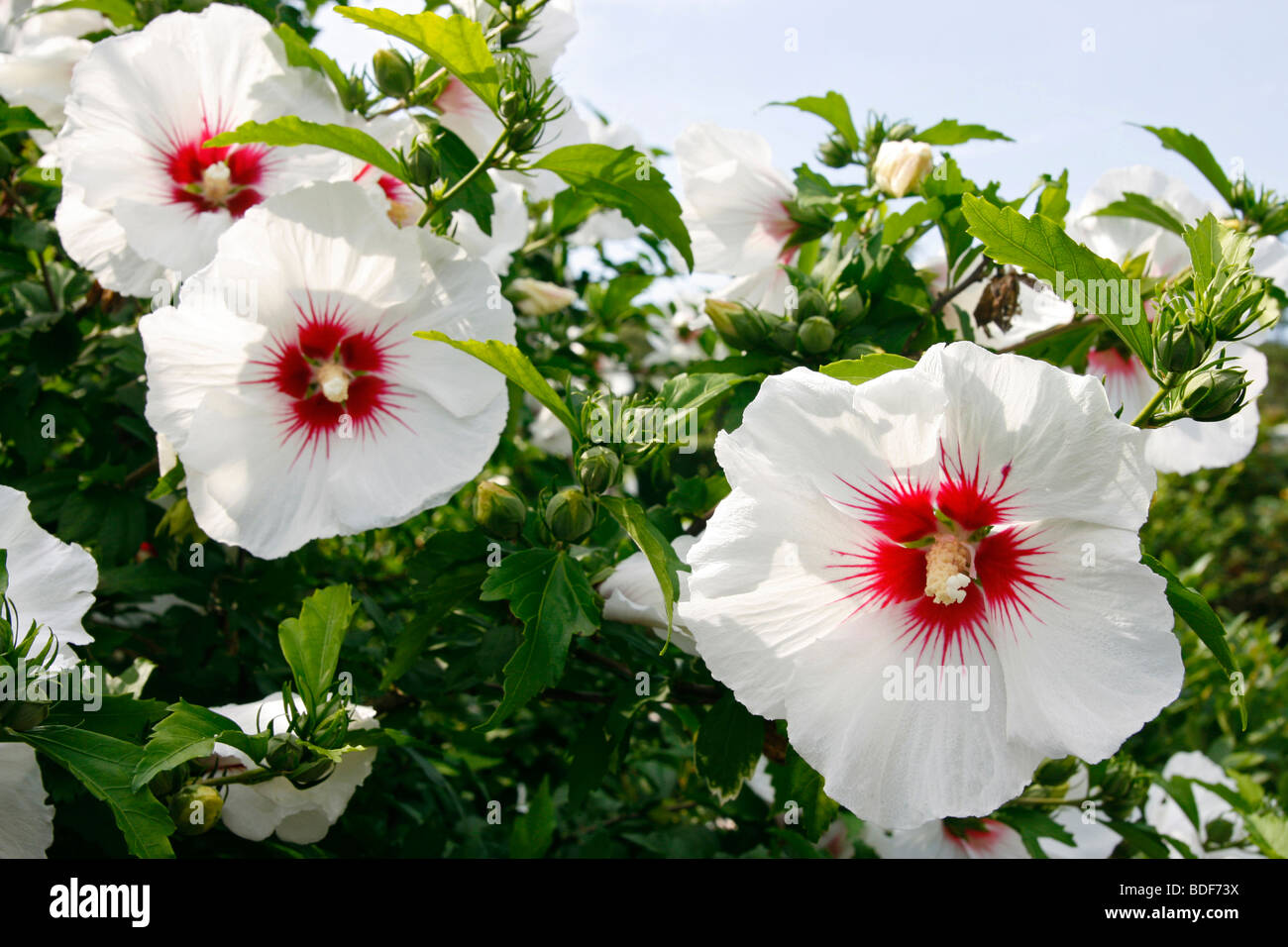 Hibiscus Syriacus Rose Of Sharon Or Red Heart Flower Stock Photo