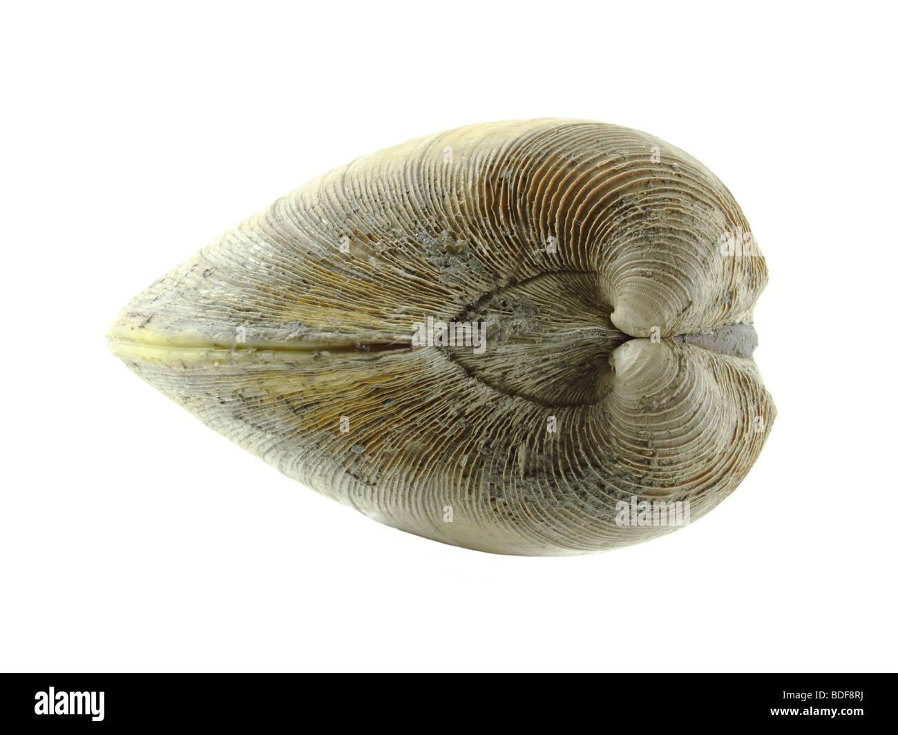 Quahog clam Stock Photo