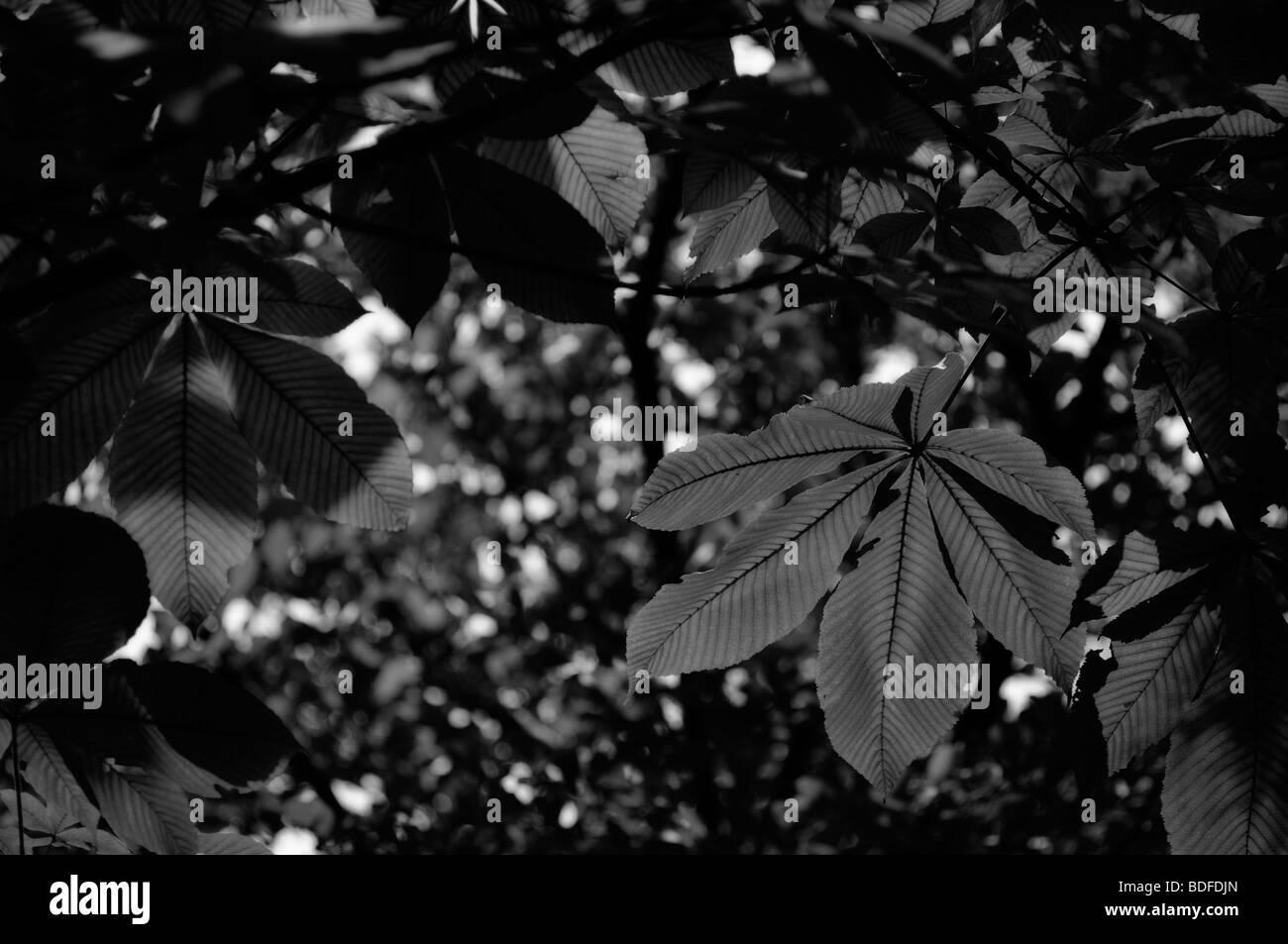 Leaves of Horse-chestnut tree, aka Conker tree (Aesculus hippocastanum). Imperial Palace Park. Kyoto. Kansai (aka - Stock Image