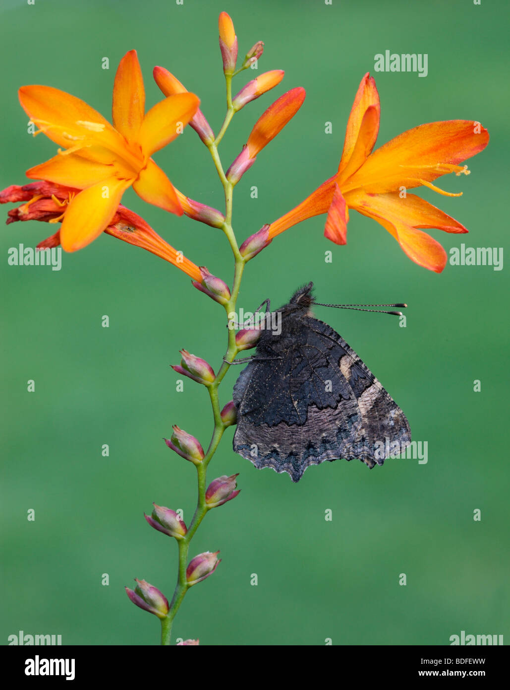 Small tortoiseshell butterfly, Aglais urticae, Midlands, August 2009 - Stock Image