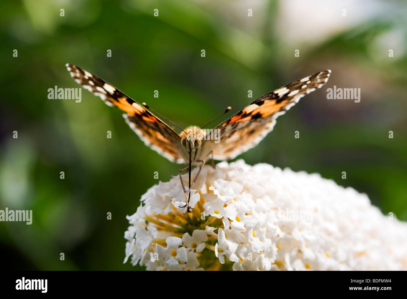 Pianted Lady butterfly sucking nectar from flower close-up, frontal view - Stock Image