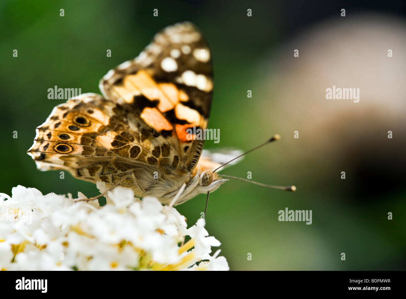 Pianted Lady butterfly sucking nectar from flower close-up Stock Photo