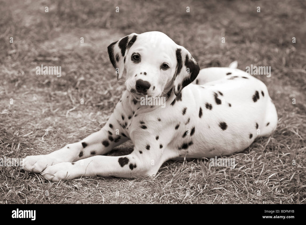 dalmatian puppy, eight weeks old, laying on the grass, black and white, sepia toned - Stock Image