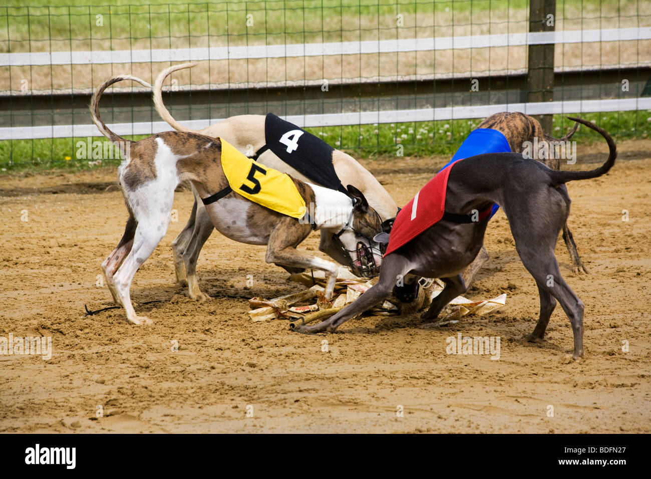 four greyhound dogs fighting for dummy after the race - Stock Image