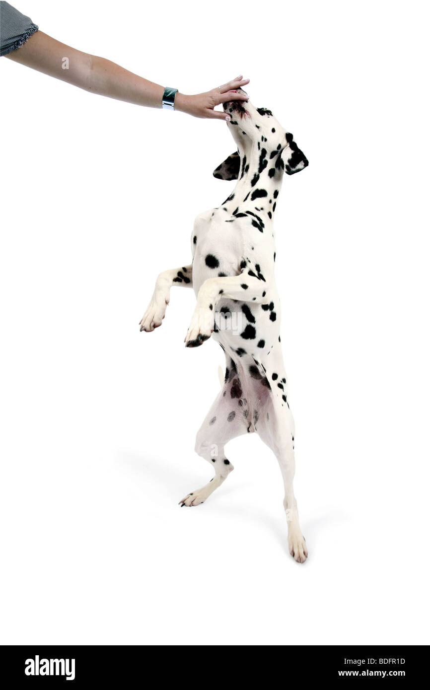 Dalmatian (Canis lupus f. familiaris), Dalmatian standing on his hindpaws, licking a hand - Stock Image